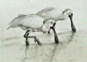 Spoonbill Drawings - Pair of Royal Spoonbills by Colin L Williams