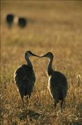 Bonding Metal Prints - Pair Of Sandhill Cranes, Beak To Beak Metal Print by Michael Melford