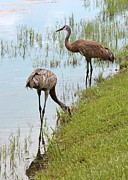 Florida Marsh Framed Prints - Pair of Sandhills at the Marsh Framed Print by Carol Groenen