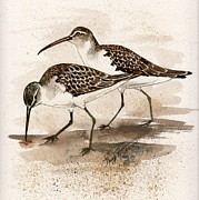 Sandpipers Paintings - Pair of Sandpipers by Nancy Patterson