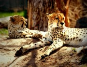 Cheetahs Digital Art Posters - Pair of Sunbathing Cheetahs - paintograph Poster by Christine S Zipps