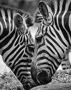 Black And White Photography Metal Prints - Pair Of Zebras Metal Print by Ngkokkeong Photography
