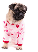 Pug Photos - Pajama Party by Edward Fielding