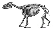 Prehistory Prints - Palaeotherium, Cenozoic Mammal Print by Science Source