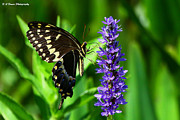 Pasco County Prints - Palamedes Swallowtail Butterfly Print by Barbara Bowen