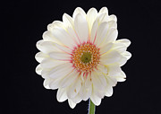Gerber Daisy Art - Pale Fire by Juergen Roth