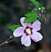 Green Burgandy Prints - Pale lavender Hibiscus Print by Linda Phelps