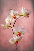 Deep Pink Prints - Pale Pink Orchid Spray Print by Jacqi Elmslie