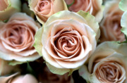 Flower Photographs Prints - Pale Pink Roses Print by Kathy Yates