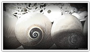 Seashell Fine Art Posters - Pale Shade Of Gray Poster by Danielle  Parent