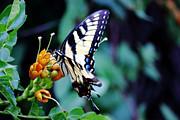 Barry Jones - Pale Swallowtail Butterfly-2