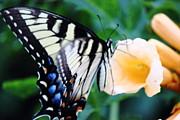 Barry Jones - Pale Swallowtail Butterfly-4