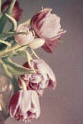 Tulips - Pale Tulips by Cathie Tyler
