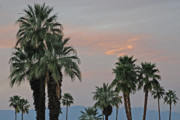 Palms Posters - Palm Desert Sunset  Poster by Carol  Eliassen