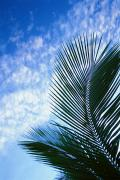 Sunsets Rainbows Clouds - Palm Fronds And Clouds by Dana Edmunds - Printscapes