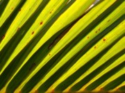 Parallel Vein Leaf Prints - Palm Fronds backlit by the Sun Print by Yali Shi