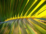 Palm Fronds Illuminated By The Sun Print by Yali Shi