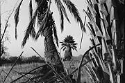 Photograpy Metal Prints - Palm in View BW Horizontal Metal Print by Heather Kirk