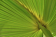 Palmetto Plants Photos - Palm Leaf II by JD Grimes