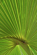 Palmetto Plants Photos - Palm Leaf by JD Grimes