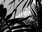 Abstract Sky Framed Prints - Palm Leaves in Black and White Framed Print by Joyce  Kimble Smith