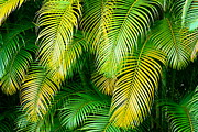 Hawai Prints - Palm Leaves in Green and Gold Print by Karon Melillo DeVega
