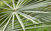 Tree Leaf Prints - Palm Leaves Print by Johnny Greig