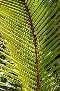 Frond Digital Art Prints - Palm Patterns 4 Print by Kerri Ligatich