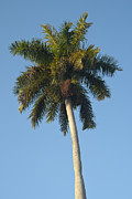 Coconut Palm Tree Posters - Palm tree Poster by Blink Images