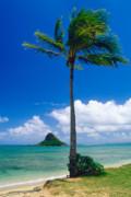 Palm Tree On The Beach Kaneohe Bay Oahu Hawaii Print by George Oze