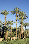 Africa-north Photos - Palm Tree Plantation by Johnny Greig