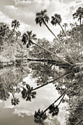 Palmetto Photos - Palm Tree Reflections by Dustin K Ryan
