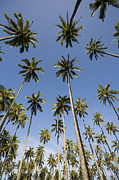 Fan Palm Framed Prints - Palm Trees Against Blue Sky Framed Print by John Burcham