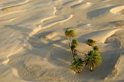 Sami Sarkis - Palm trees and sand dunes in Sahara Desert