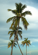 Coconut Palm Tree Posters - Palm trees Poster by Blink Images