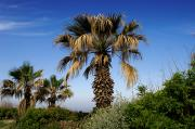 Tel Aviv Photos - Palm Trees Growing Along The Beach by Keenpress