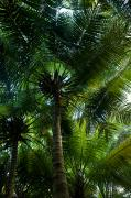 Alphonse Photos - Palm Trees Make A Canopy Of Green by Beverly Joubert