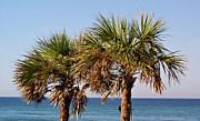 Florida Trees Posters - Palm Trees Poster by Sandy Keeton