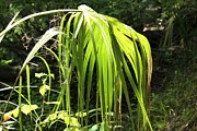 Palmetto Plants Photos - Palmetto Frond in Sunlight by Theresa Willingham