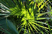 Palmettos Framed Prints - Palmetto Fronds Framed Print by Theresa Willingham
