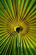 Saw Palmetto Photos - Palmetto Leaf Close Up by Lynda Dawson-Youngclaus