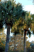 Palmetto Trees Framed Prints - Palmetto Pairing II Framed Print by Suzanne Gaff