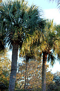 Palmetto Trees Framed Prints - Palmetto Pairing Framed Print by Suzanne Gaff