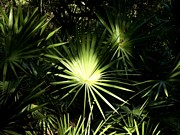 Palmetto Plants Photos - Palmetto Starburst by Theresa Willingham