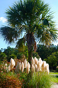 Palmetto Trees Framed Prints - Palmetto Tree  Framed Print by Susanne Van Hulst