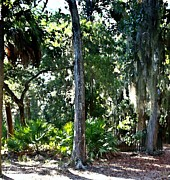 Driveways Prints - Palms Amongst The Oaks Print by Jim Goldseth
