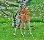 Foals Framed Prints - Palomino and Birch Framed Print by Emily Stauring