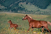 Palomino Photos - Palomino Colt and Mare  by Alan and Sandy Carey and Photo Researchers
