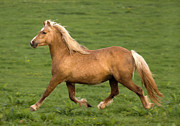 Grey Horse Photos - Palomino Welsh Pony by Angel  Tarantella