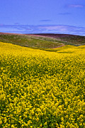 Canola Field Prints - Palouse Canola Print by David Patterson